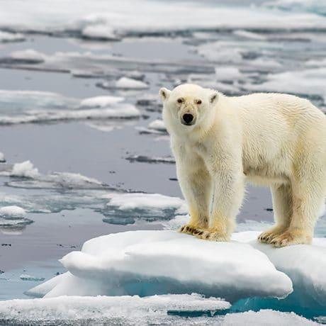 Eisbär auf kleiner Eisscholle