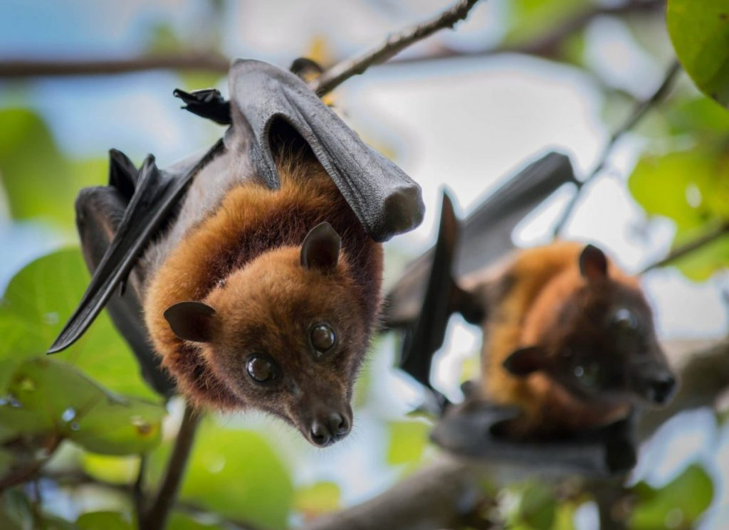 flying foxes in a tree